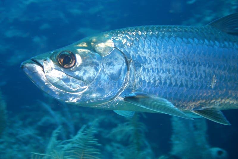 Mar del Caribe de la vida del safari subacuático coralino del salto imagenes de archivo