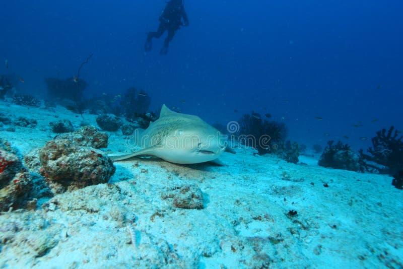 Mar del Caribe de la vida del safari subacuático coralino del salto fotografía de archivo libre de regalías