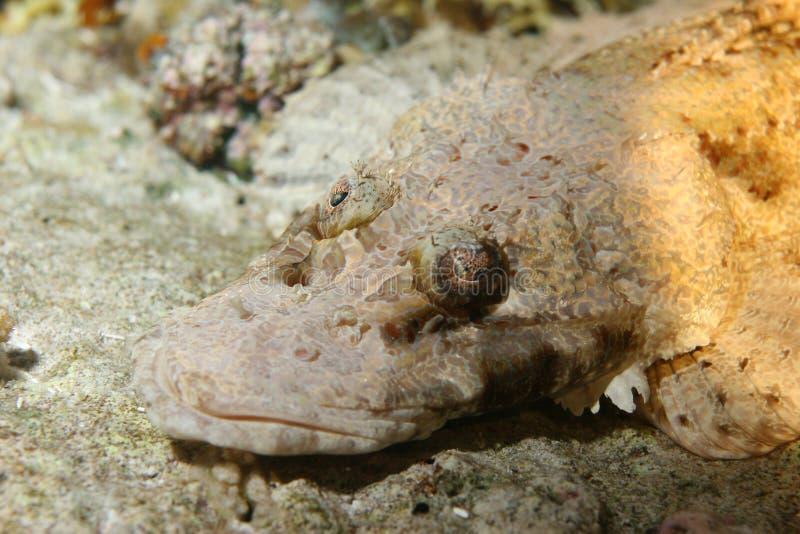 Mar del Caribe de la vida del safari subacuático coralino del salto imágenes de archivo libres de regalías