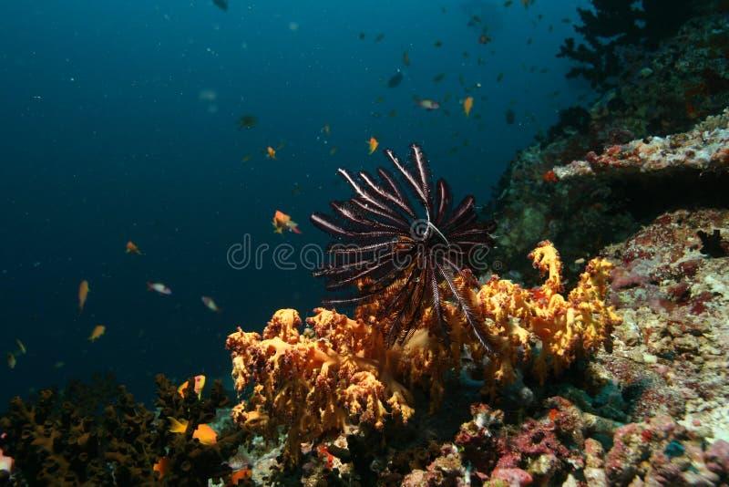 Mar del Caribe de la vida del safari subacuático coralino del salto fotografía de archivo