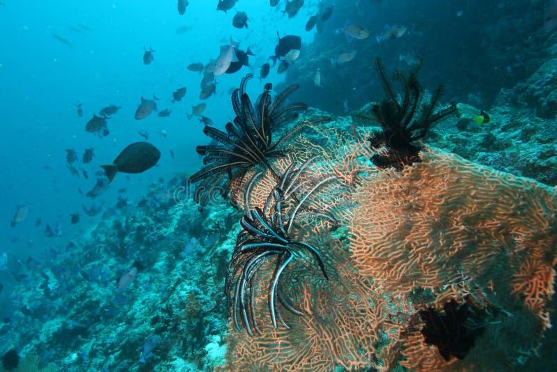 Mar del Caribe de la vida del safari subacuático coralino del salto foto de archivo
