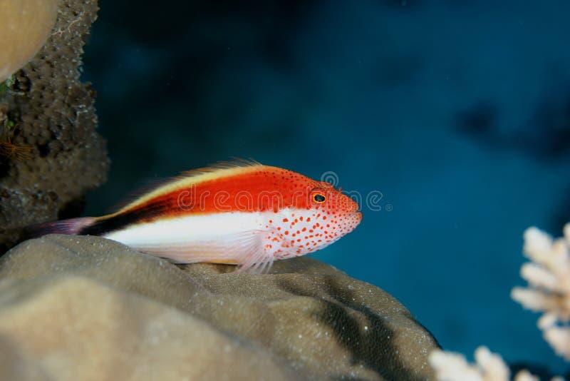 Mar del Caribe de la vida del safari subacuático coralino del salto imagen de archivo libre de regalías