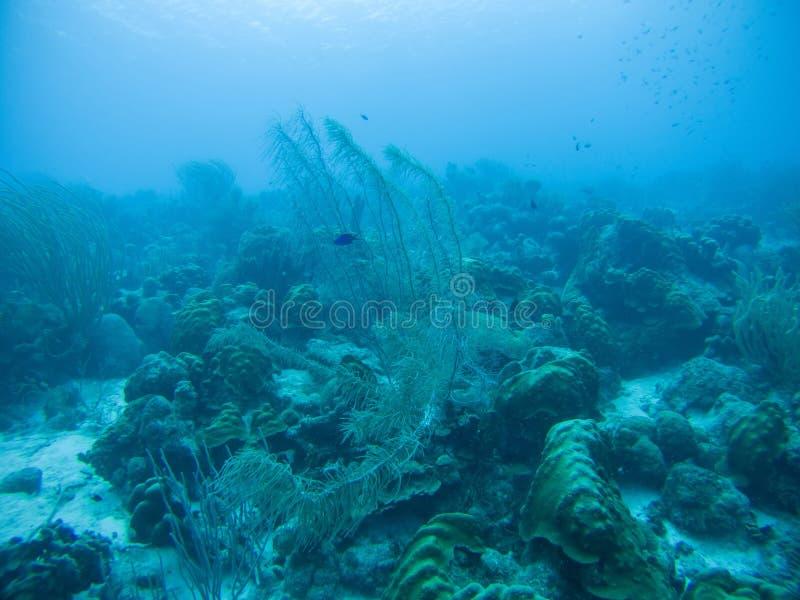 Mar del Caribe de la vida del safari subacuático coralino del salto fotos de archivo
