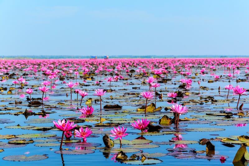 Mar del loto rosado en Udon Thani, Tailandia imagen de archivo libre de regalías