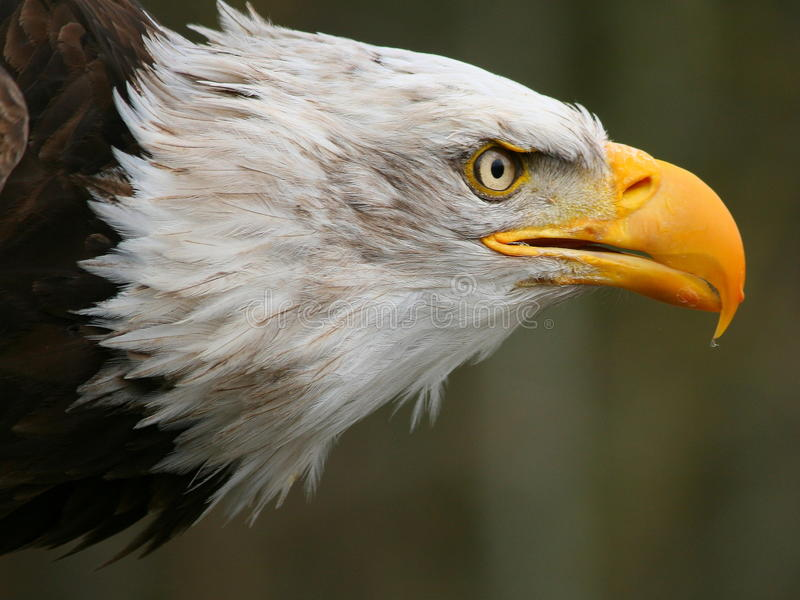 Mar Eagle fotos de archivo libres de regalías