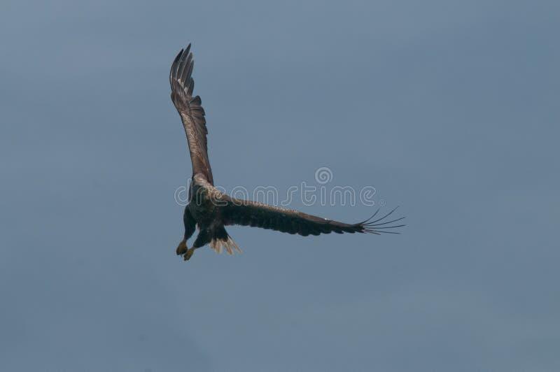 Mar Eagle foto de stock