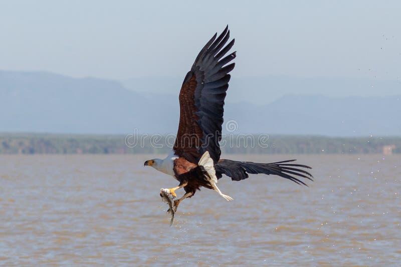 Mar Eagle africano, Kenia, África foto de archivo