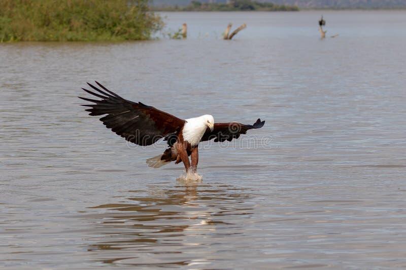 Mar Eagle africano, Kenia, África fotografía de archivo