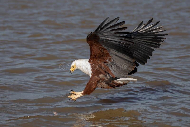 Mar Eagle africano, Kenia, África imagen de archivo libre de regalías