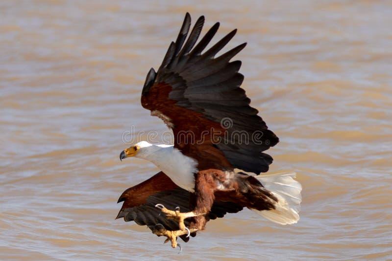 Mar Eagle africano, Kenia, África foto de archivo libre de regalías
