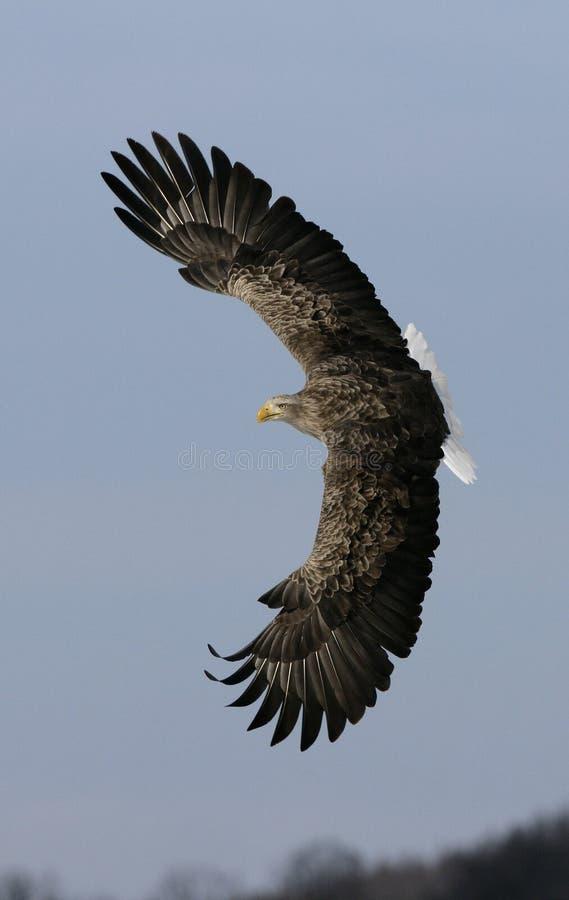 mar-Eagle Blanco-atado, albicilla del Haliaeetus fotos de archivo libres de regalías