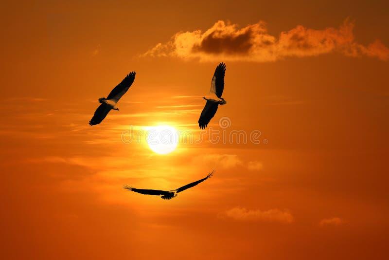 mar Eagle Blanco-hinchado, pájaros que vuelan en el cielo contra una puesta del sol roja del cielo fotos de archivo libres de regalías