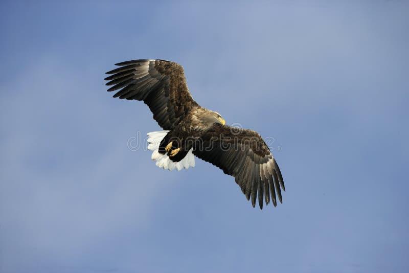 mar-Eagle Branco-atado, albicilla do Haliaeetus imagens de stock royalty free