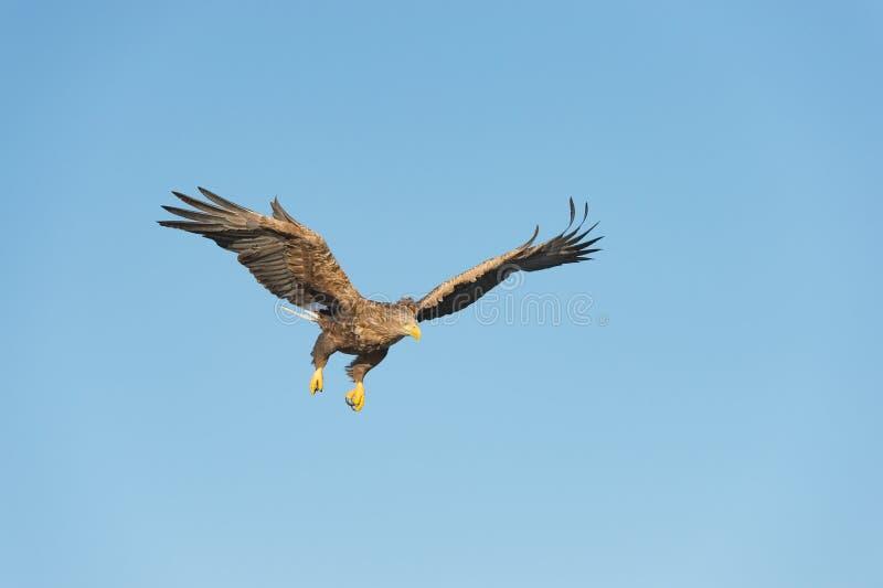 Mar Eagle da caça imagem de stock
