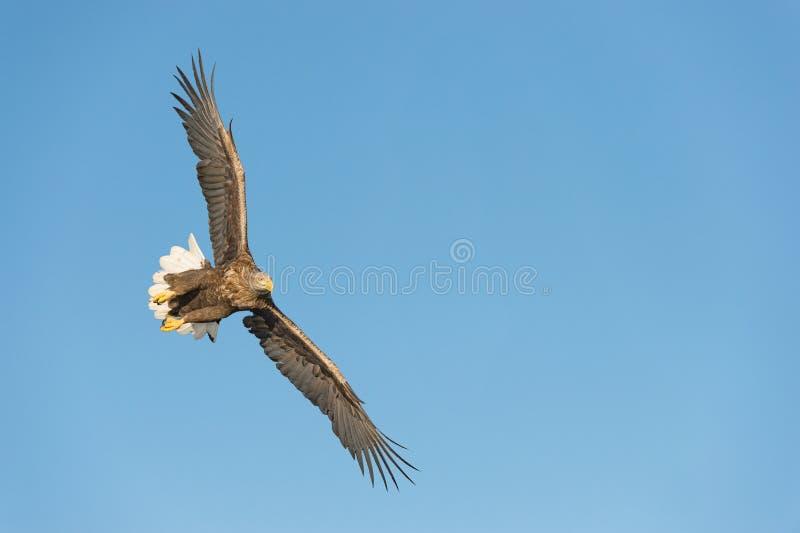 Mar Eagle da caça imagens de stock royalty free