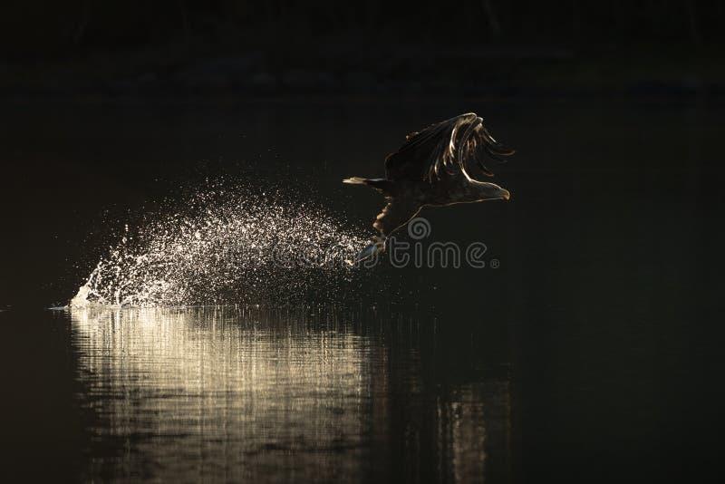 Mar Eagle da caça fotografia de stock royalty free