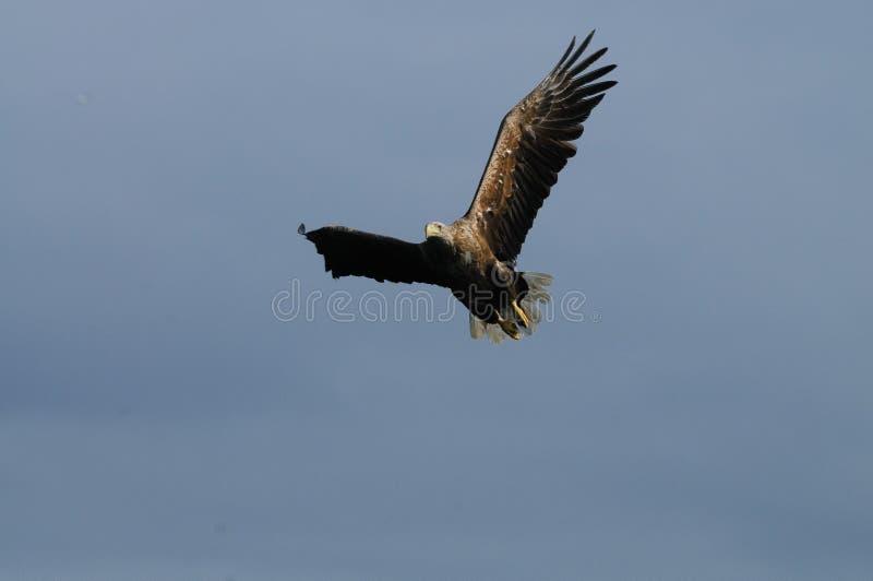 Mar Eagle em voo fotos de stock