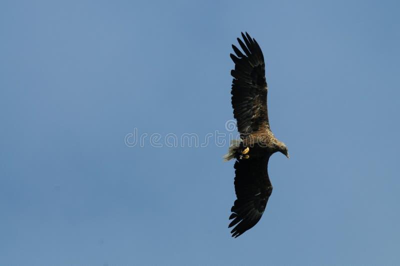 Mar Eagle em voo foto de stock