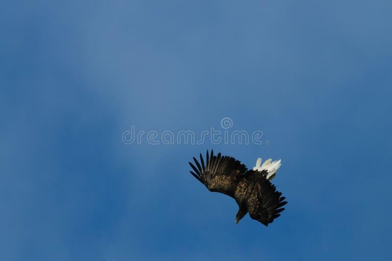 Mar Eagle em voo imagem de stock