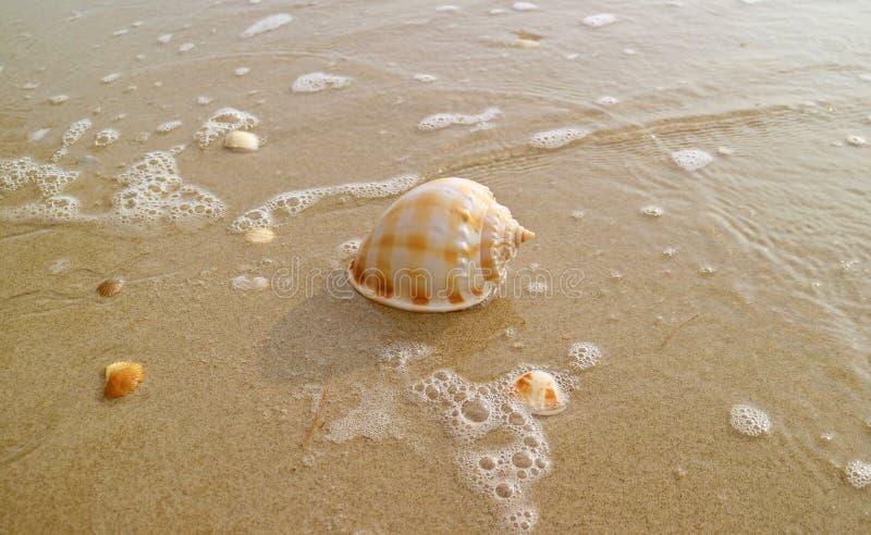 Mar escocés natural Shell del capo en la playa mojada de la arena con espuma del mar en luz del sol fotos de archivo