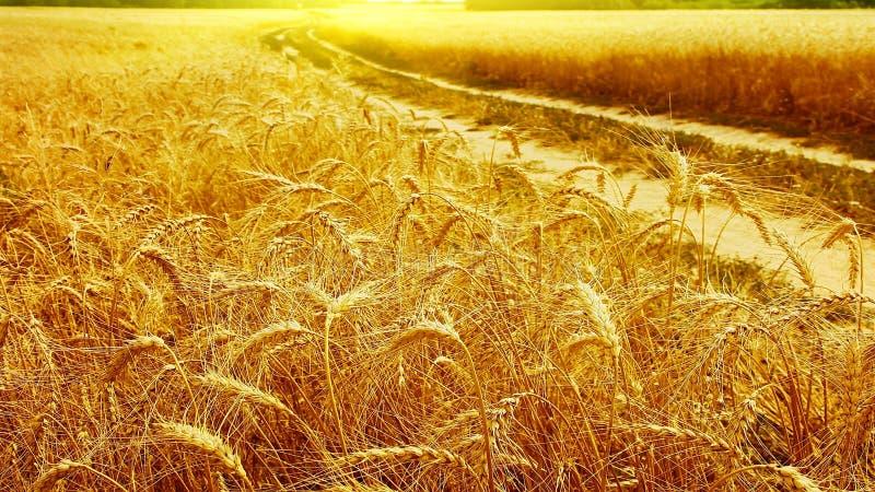 Mar Giallo di grano Orecchio del grano closeup Augusto, giorno soleggiato di estate fotografia stock libera da diritti