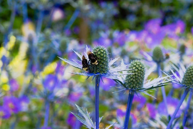 Mar Holly Blue Eryngium Thistle no jardim com zangão imagem de stock royalty free