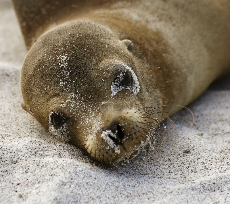 Mar Lion Lies del bebé en la arena y miradas en la cámara en la isla de las Islas Galápagos foto de archivo libre de regalías