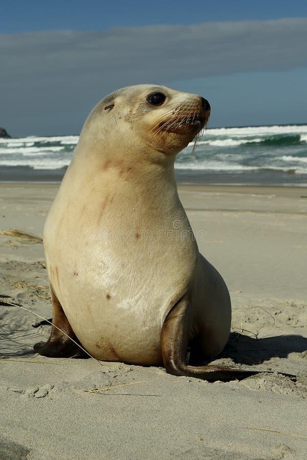 Mar Lion Pup de Nueva Zelanda imagen de archivo