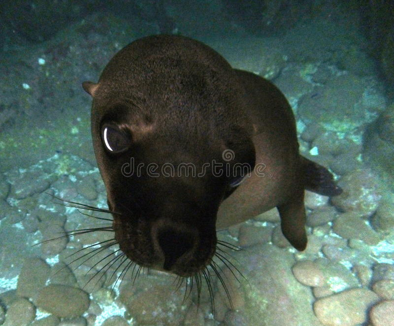 Mar Lion Selfie de California imagenes de archivo