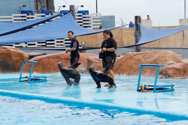 Mar Lion Show no parque do oceano de Manila fotografia de stock royalty free
