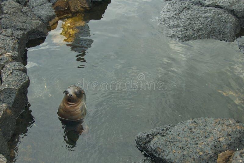 Mar Lion Swimming do bebê nas Ilhas Galápagos fotos de stock royalty free