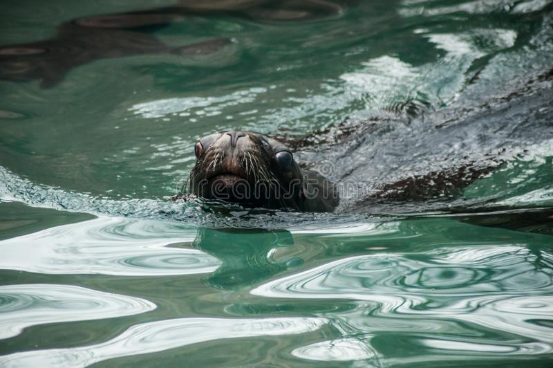 Mar Lion Swimming In The Water fotografia de stock
