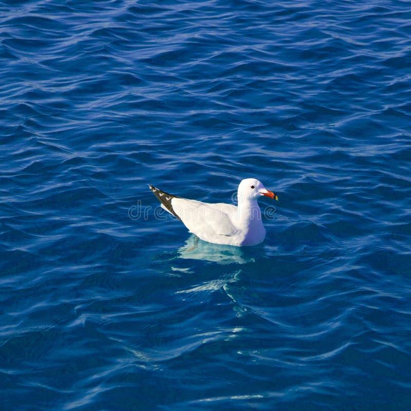 Mar Mediterráneo azul con la natación de la gaviota imagen de archivo