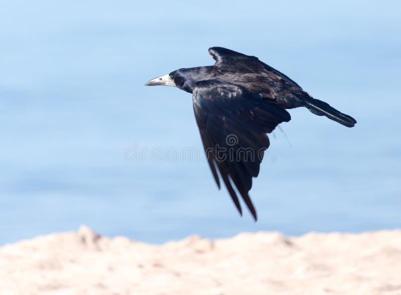 Mar negro del cuervo en vuelo fotografía de archivo