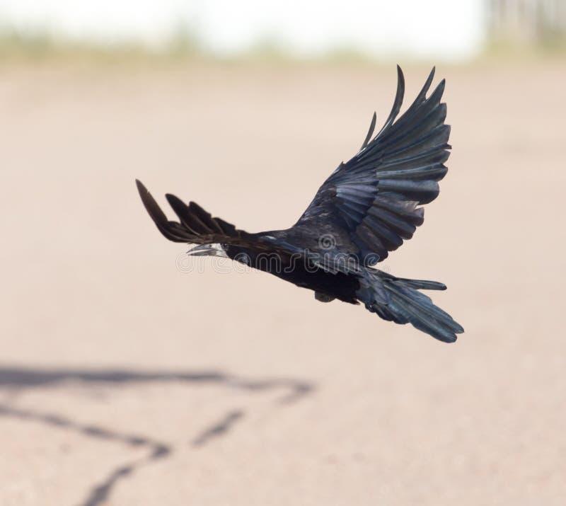 Mar negro del cuervo en vuelo foto de archivo libre de regalías
