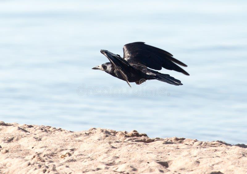 Mar negro del cuervo en vuelo foto de archivo
