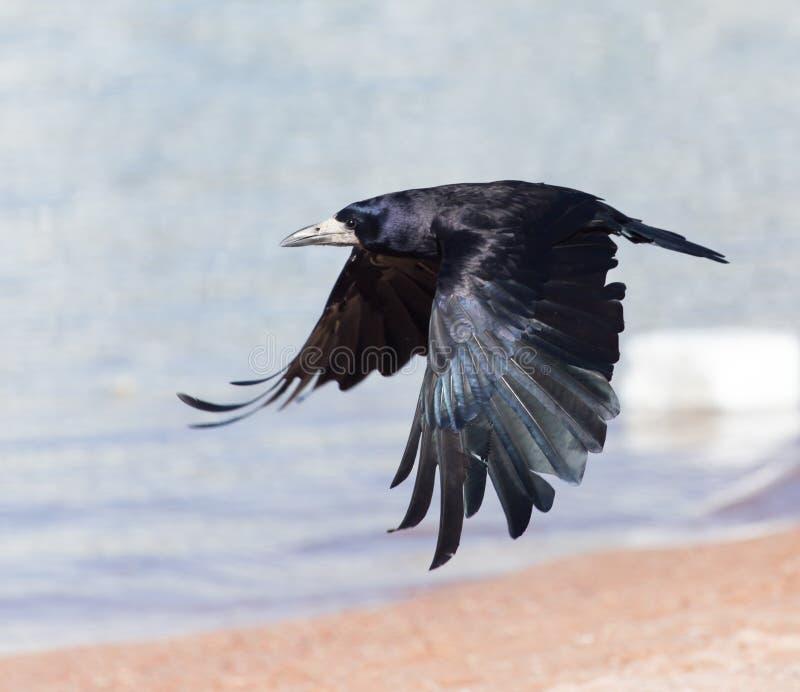Mar negro del cuervo en vuelo imágenes de archivo libres de regalías