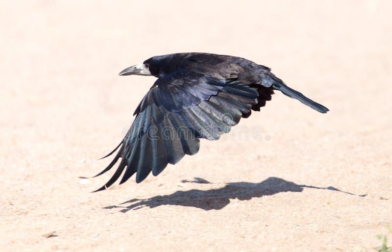 Mar negro del cuervo en vuelo imagenes de archivo