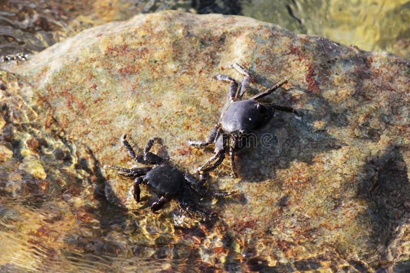 Mar nero due piccoli eriphia verrucosa del granchio di for Piccoli progetti di ranch