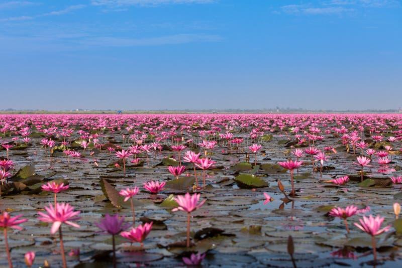 Mar que visita del barco turístico del loto rosado, lago de los lirios de agua roja no visto en Tailandia fotografía de archivo libre de regalías