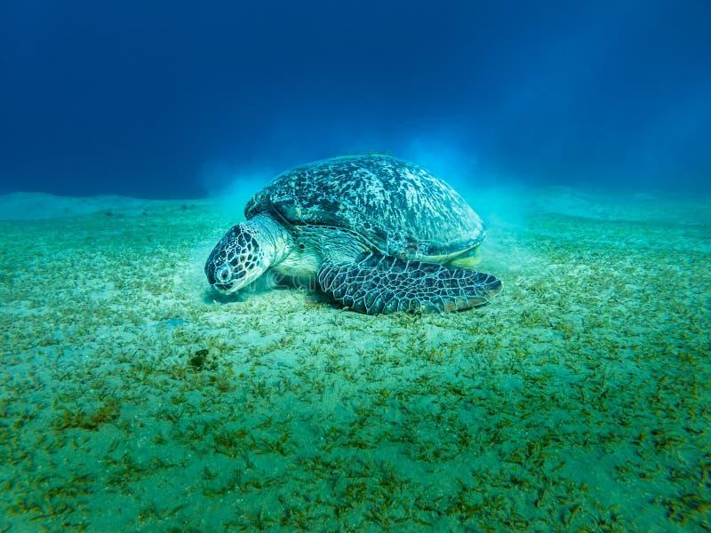 Mar Rojo gigante Egipto del primer de la tortuga de mar fotografía de archivo libre de regalías
