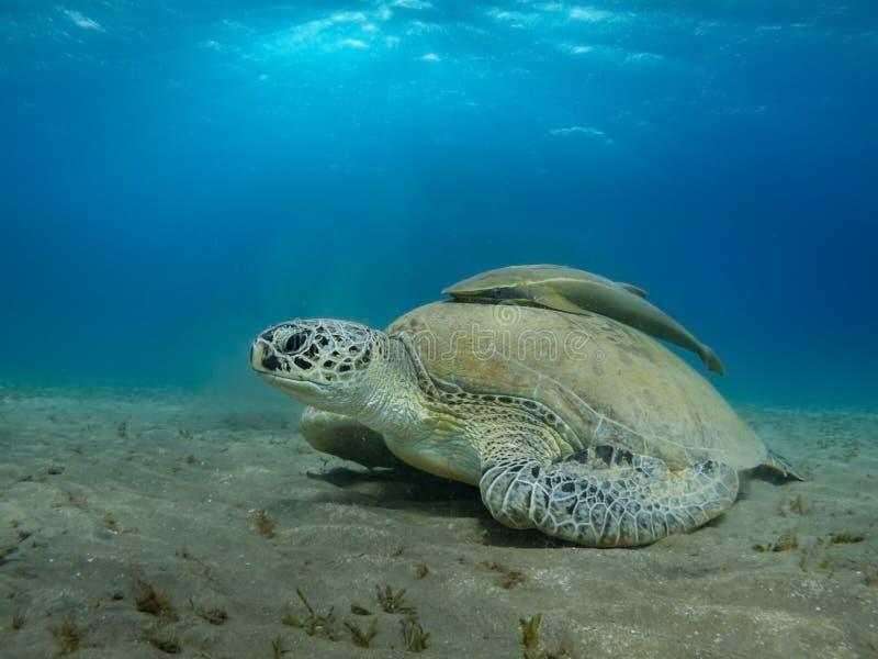 Mar Rojo gigante Egipto del primer de la tortuga de mar foto de archivo