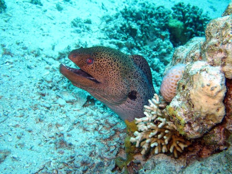 Mar Rosso residente fotografie stock libere da diritti