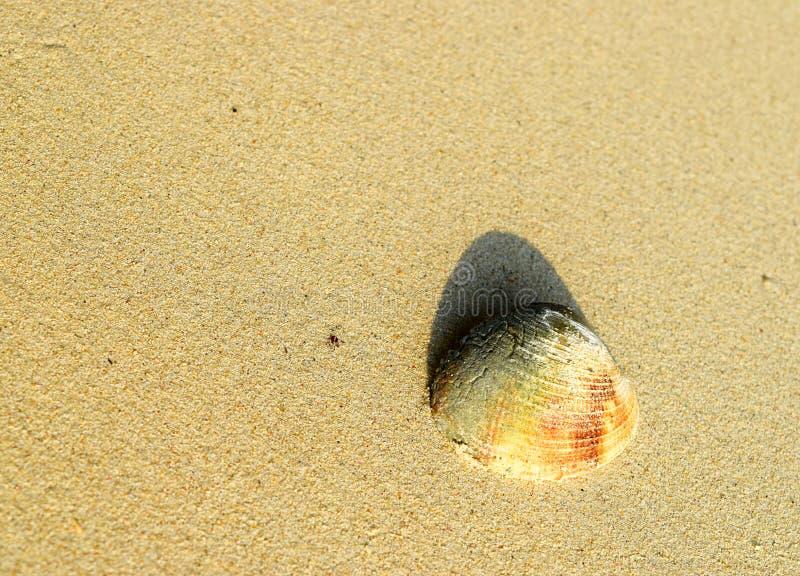 Mar Shell - almeja - molusco bivalvo - en la arena - fondo natural abstracto foto de archivo libre de regalías