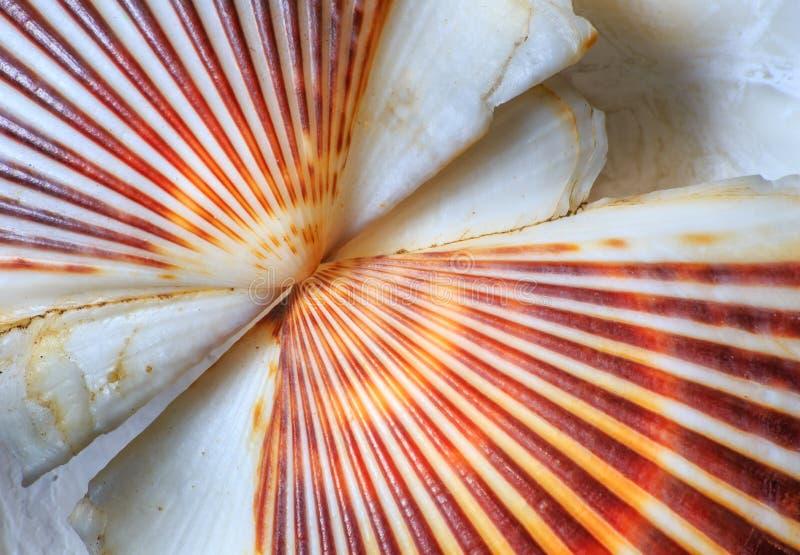 Mar Shell Kiss Seashell imagens de stock royalty free