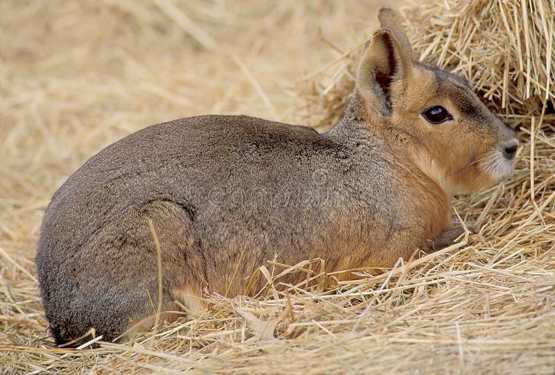 Download Mara fotografering för bildbyråer. Bild av kanin, mara, stålar - 25059