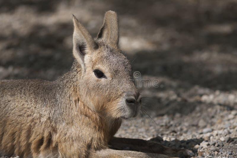 Mara hare av Patagonia royaltyfria foton