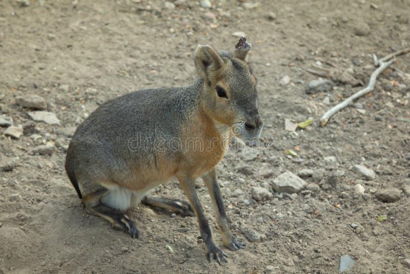 Mara hare of Patagonia. royalty free stock image