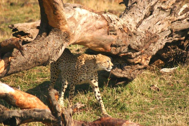 Mara jachtluipaard stock foto's