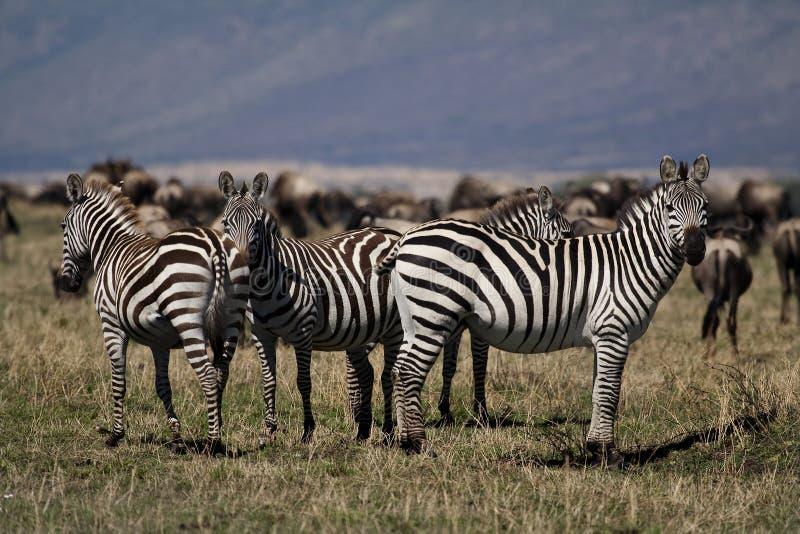 mara masai zebry obraz royalty free
